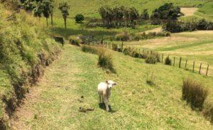 lamb-orupukapuka
