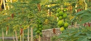 papaya-794